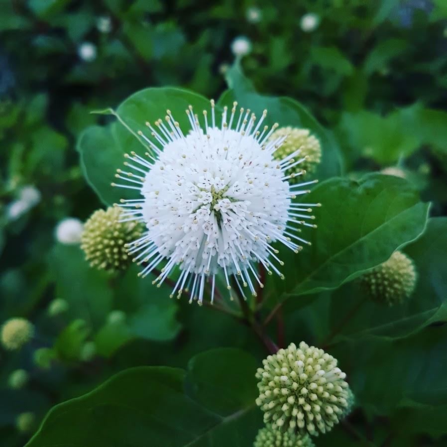 Hlavoš (Cephalanthus occidentalis), anglický názov buttonbush - Obrázok č. 3