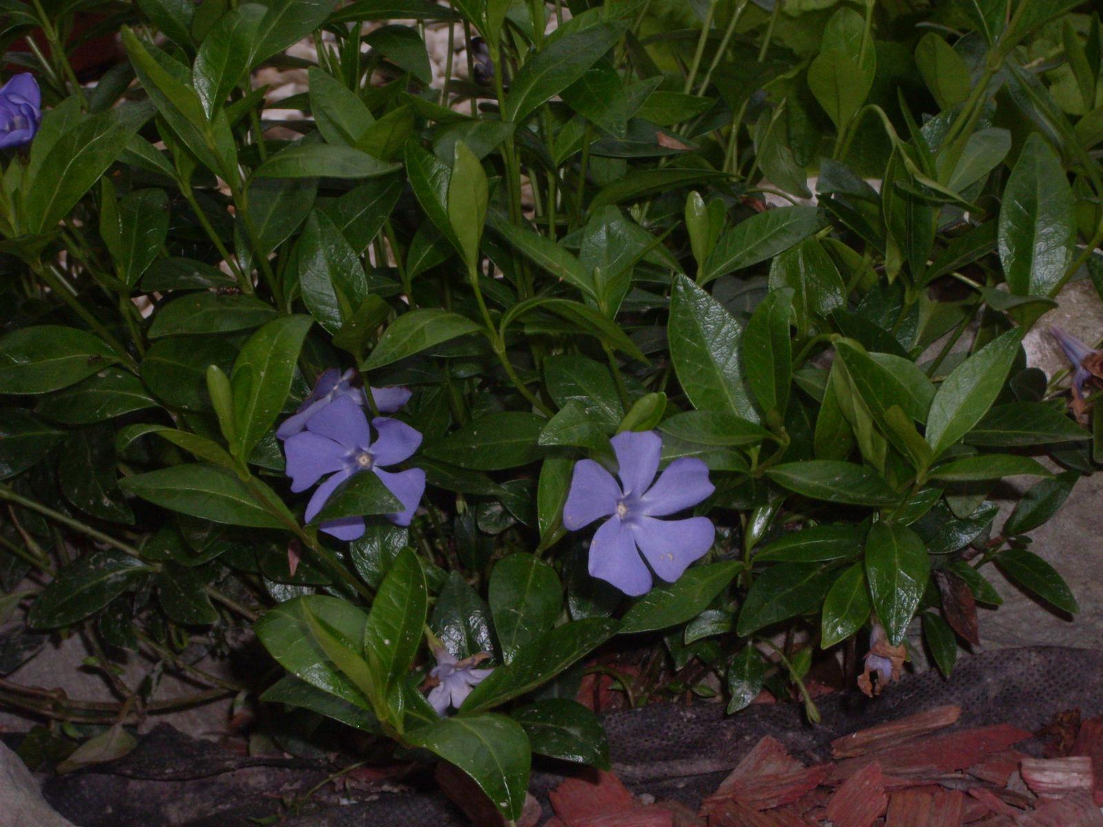 Zimozeleň menšia bielej  a fialovej farby - Obrázok č. 2