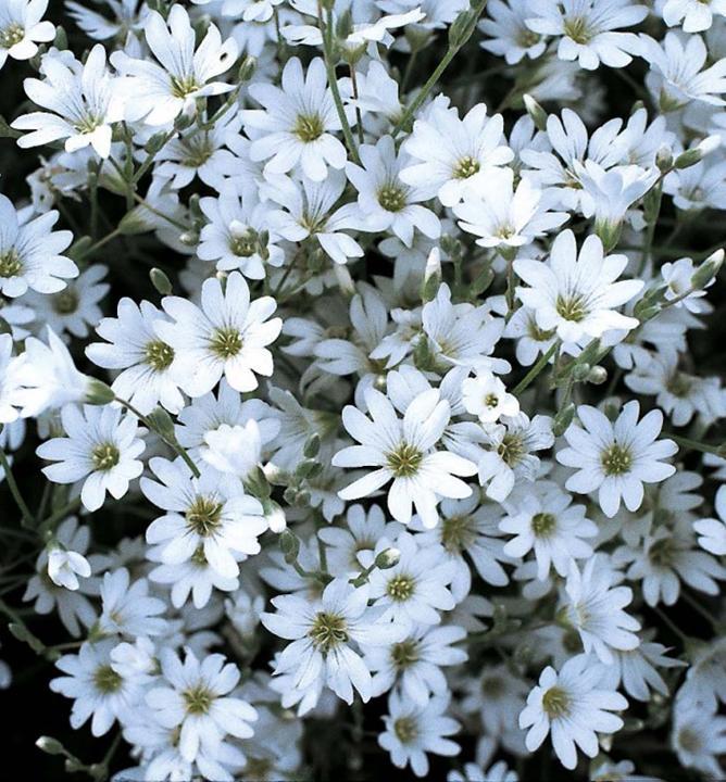Rožec plstnatý 0.50e - Obrázok č. 1