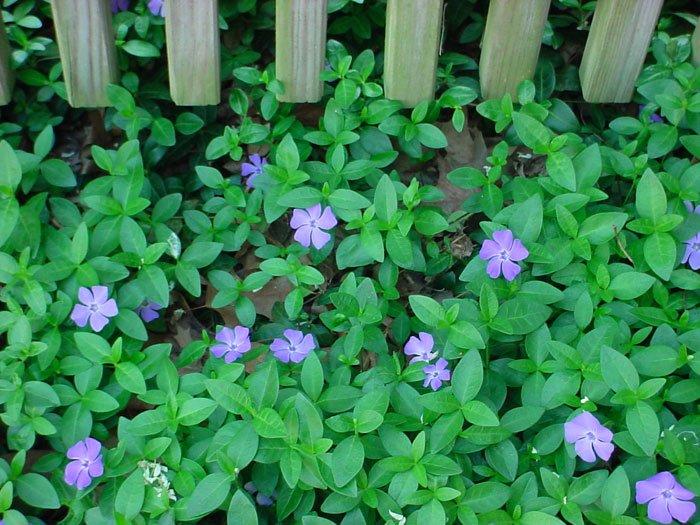Zimozeleň menšia bielej  a fialovej farby - Obrázok č. 1