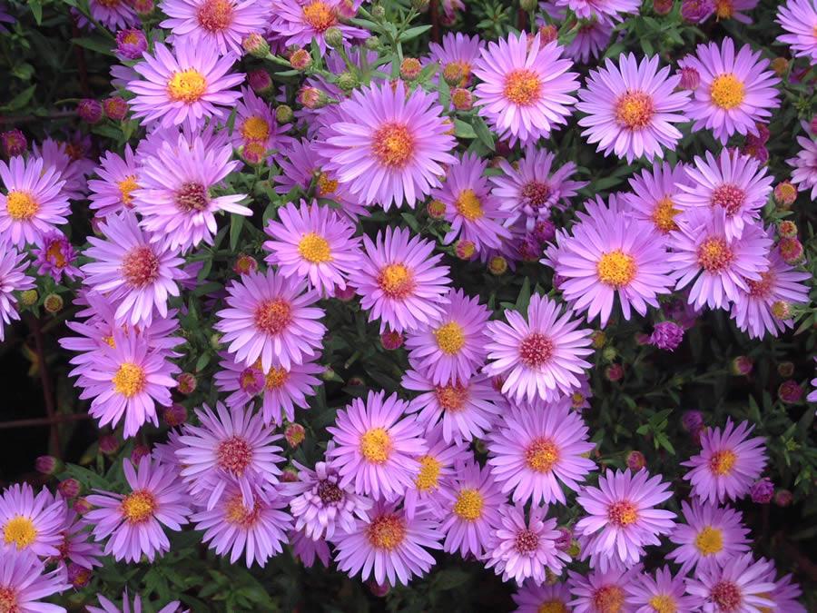 Astra fialová,ružová - Obrázok č. 1
