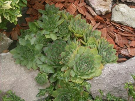 Skalné ruže - skalničky  - Obrázok č. 1