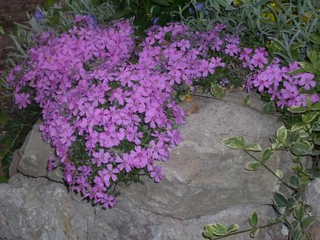 Flox šidlolistý biele ,ružove ,fialové - Obrázok č. 1