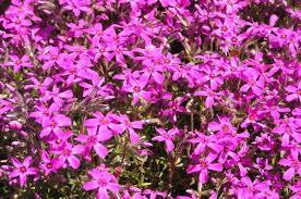 Flox šidlolistý biele ,ružove ,fialové - Obrázok č. 2