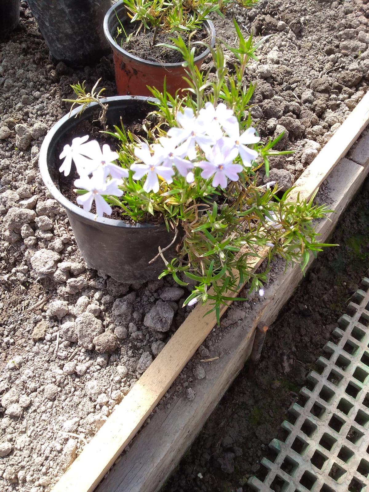 Flox šidlolistý biele ,ružove ,fialové - Obrázok č. 4