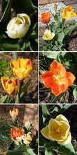 cibulky tulipánů jsme dostali jako dárek z Holandska