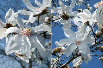 tak nám na jaře kvetla magnolie