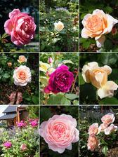 Nejdokonalejší růže jsou pro mě ty od Davida Austina. Škoda, že se nedá vyfotit i vůně!