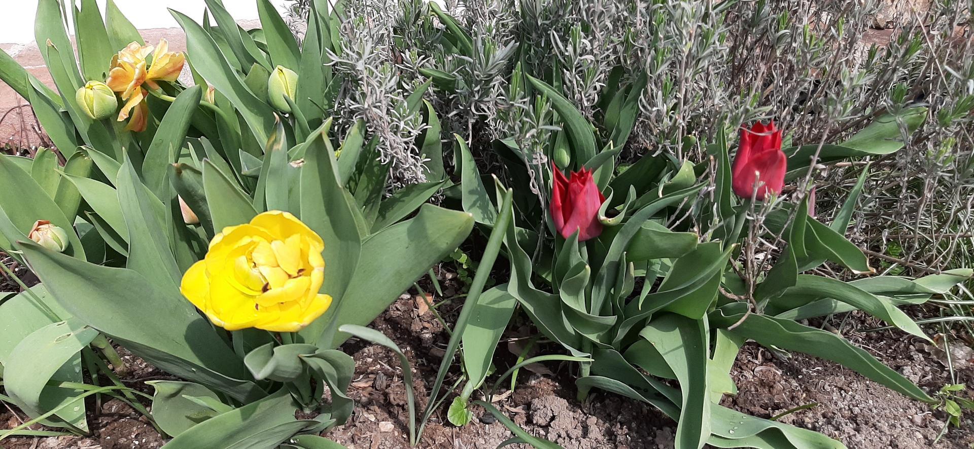 Rok 2020 - první tulipány