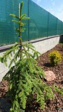 """Picea Abies """"Inversa"""""""