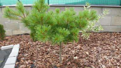 borovica - pinus Strobus
