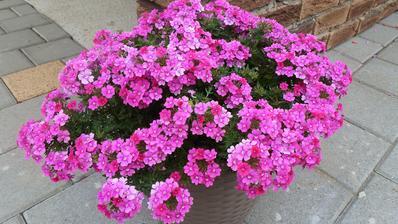 august - verbenky krasne kvitnu