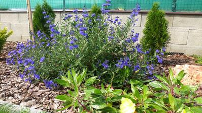 Caryopteris clandonensis Heavenly Blue - bradavec klandonsky
