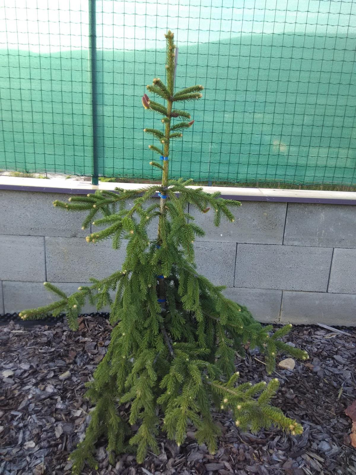 Dvor a zahrada 2015 - Picea Abies Inversa