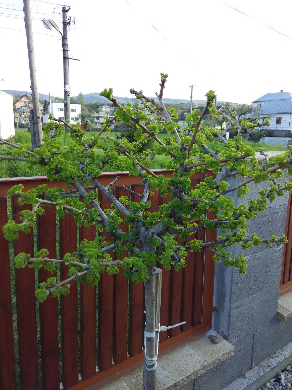 Dvor a zahrada 2015 - ginkgo
