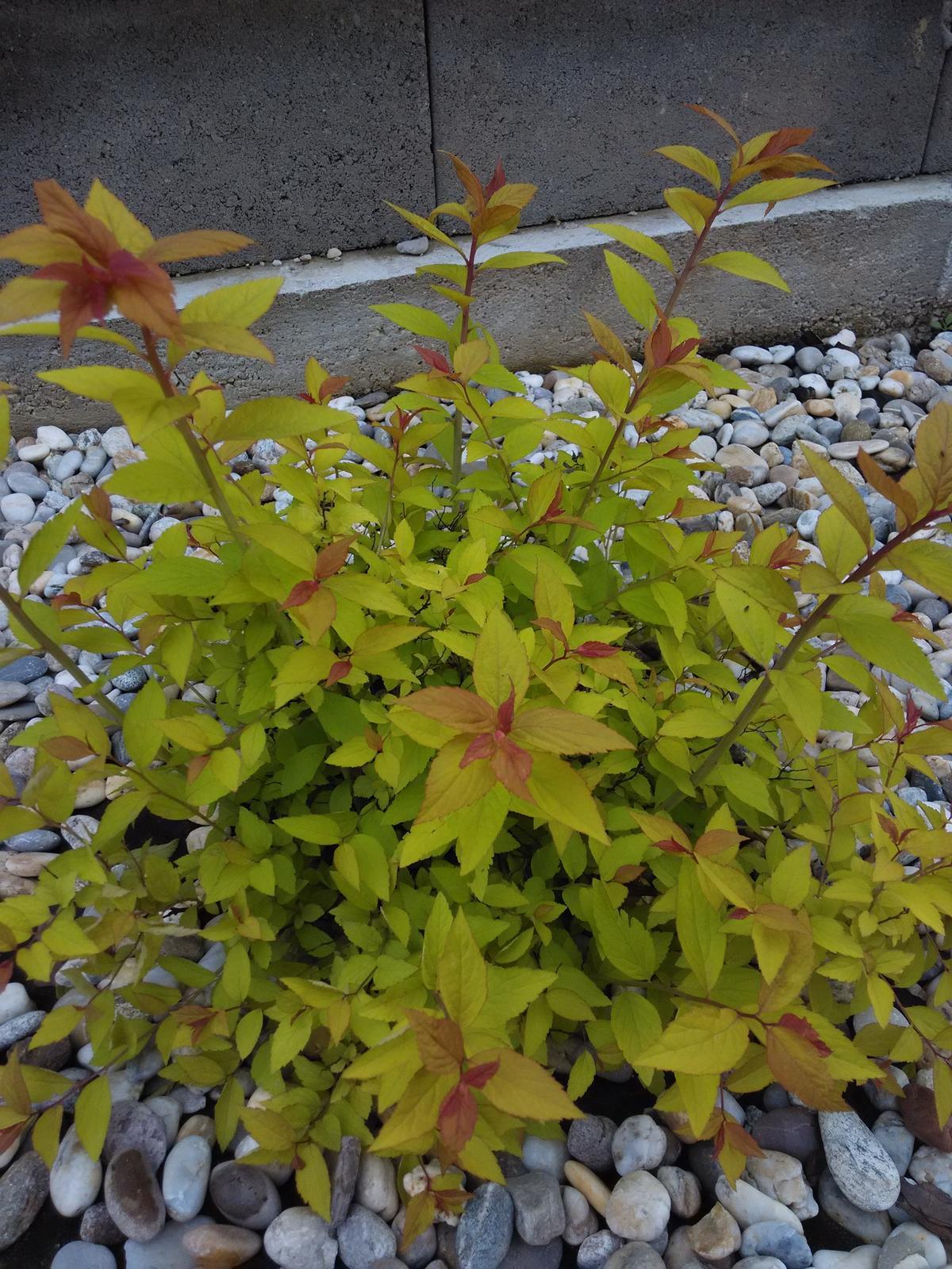 Dvor a zahrada 2015 - tavolnik Golden Princess