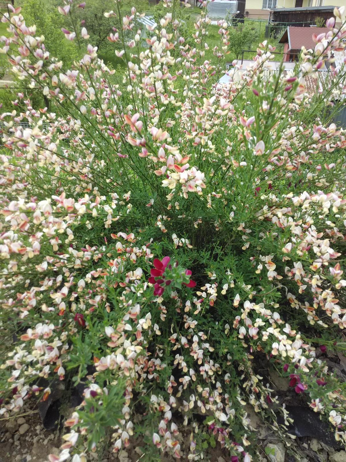 Dvor a zahrada 2015 - cytisus