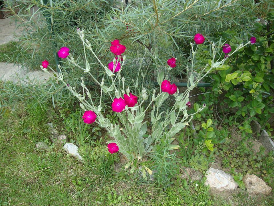 Kukučka vencová-semeno - Obrázok č. 1