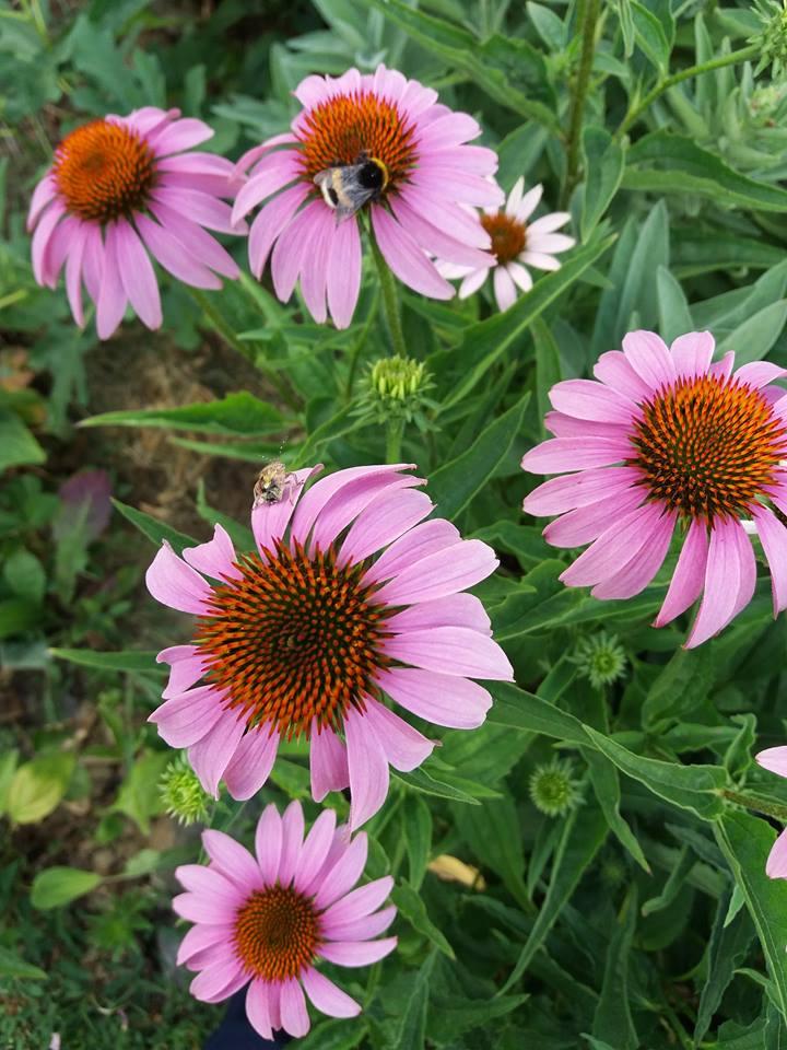 echinacea-semená - Obrázok č. 1