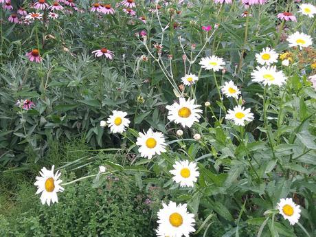 Margaréta - semienka - Obrázok č. 1