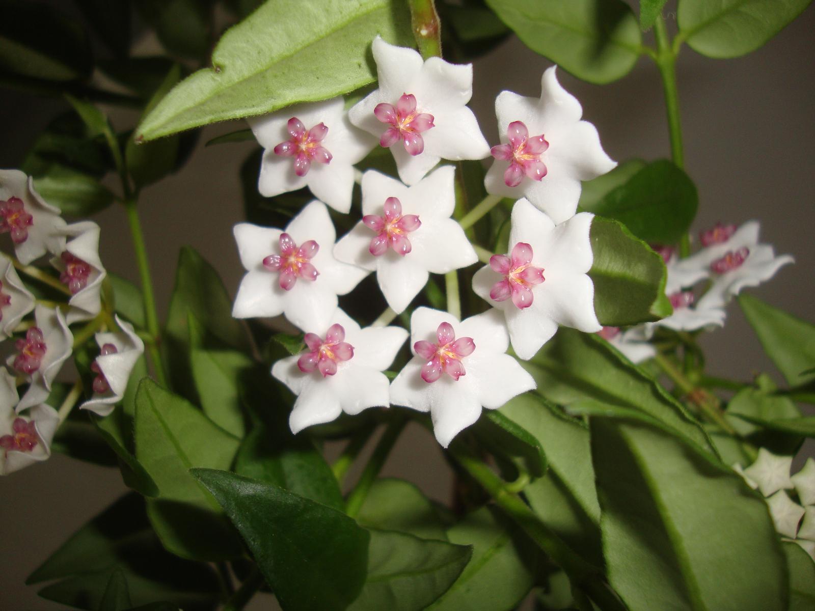 Hoya bella - Obrázok č. 1