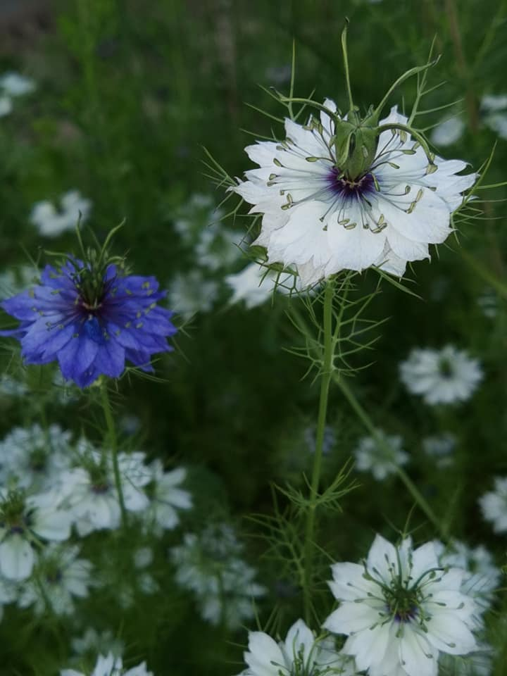 Černuška - semená - Obrázok č. 1