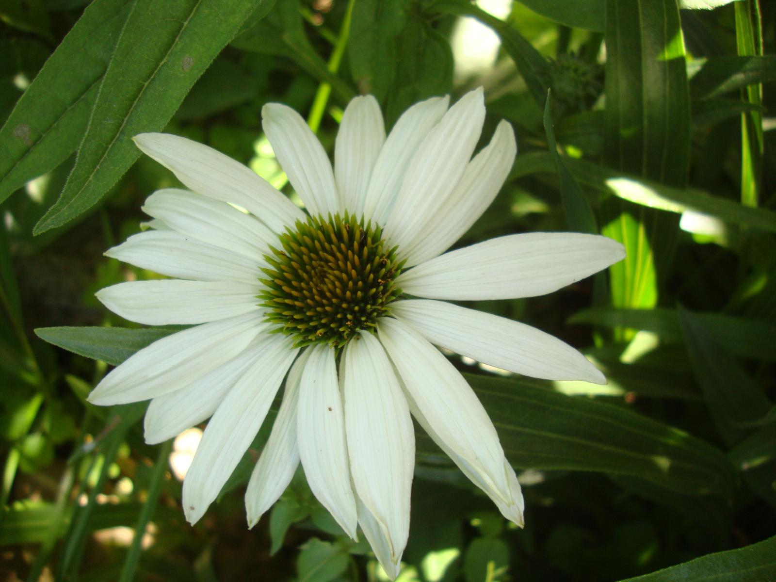 Echinacea biela - Obrázok č. 1