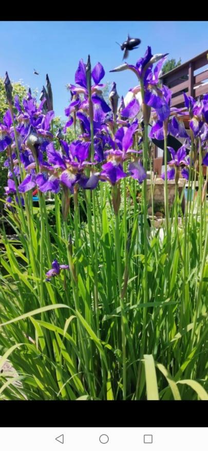 Iris - Obrázok č. 1