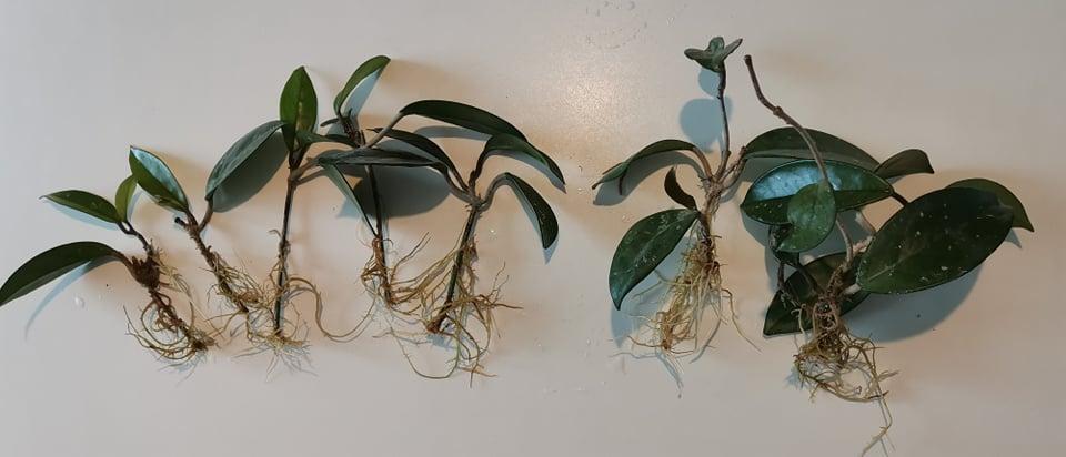 Hoya vosková (voskovka) - Obrázok č. 1