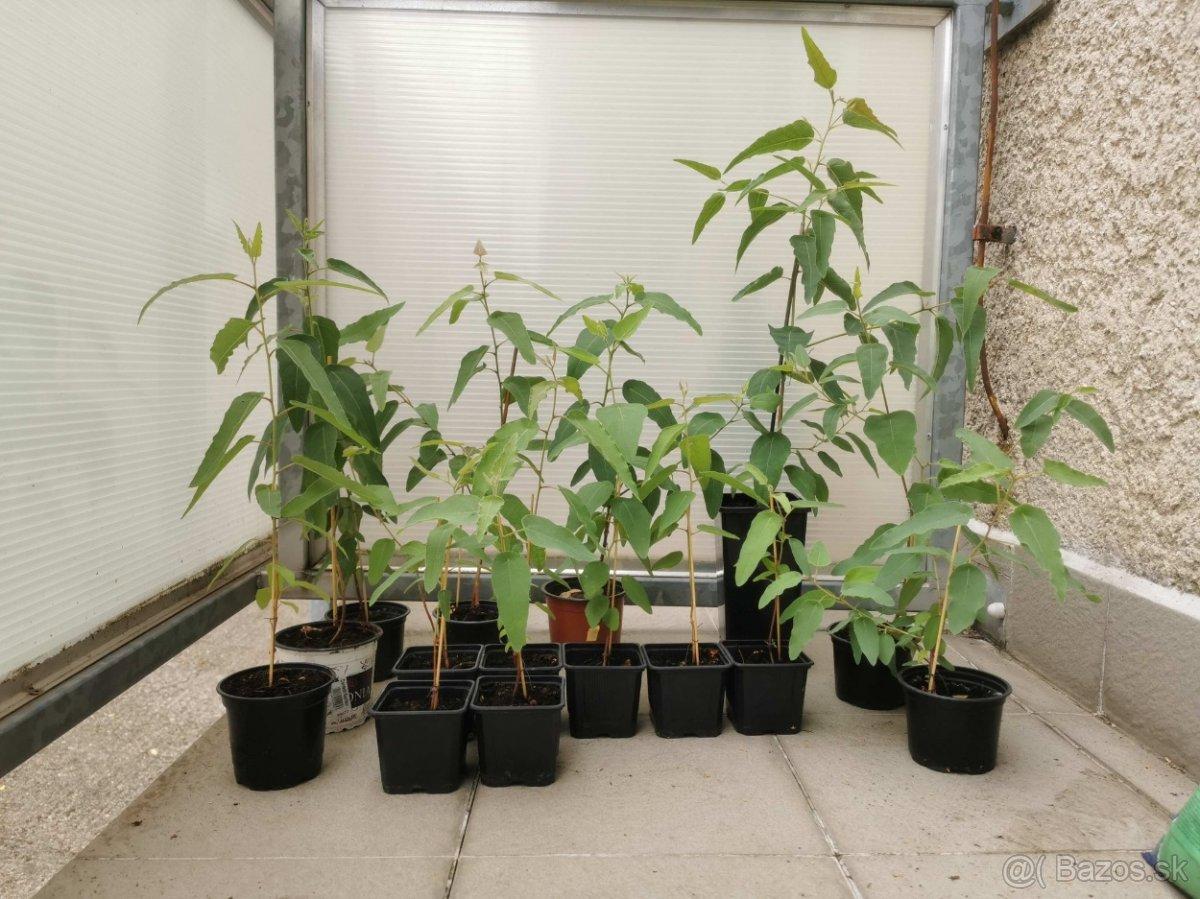 Eukalyptus Citrónový Citriodora - Obrázok č. 1