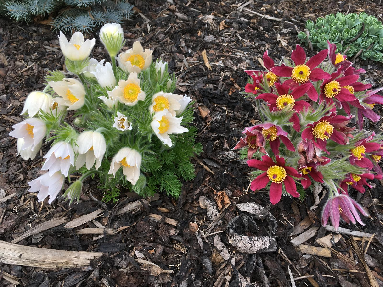 Naše zahradka s láskou ❤️ - Koniklec