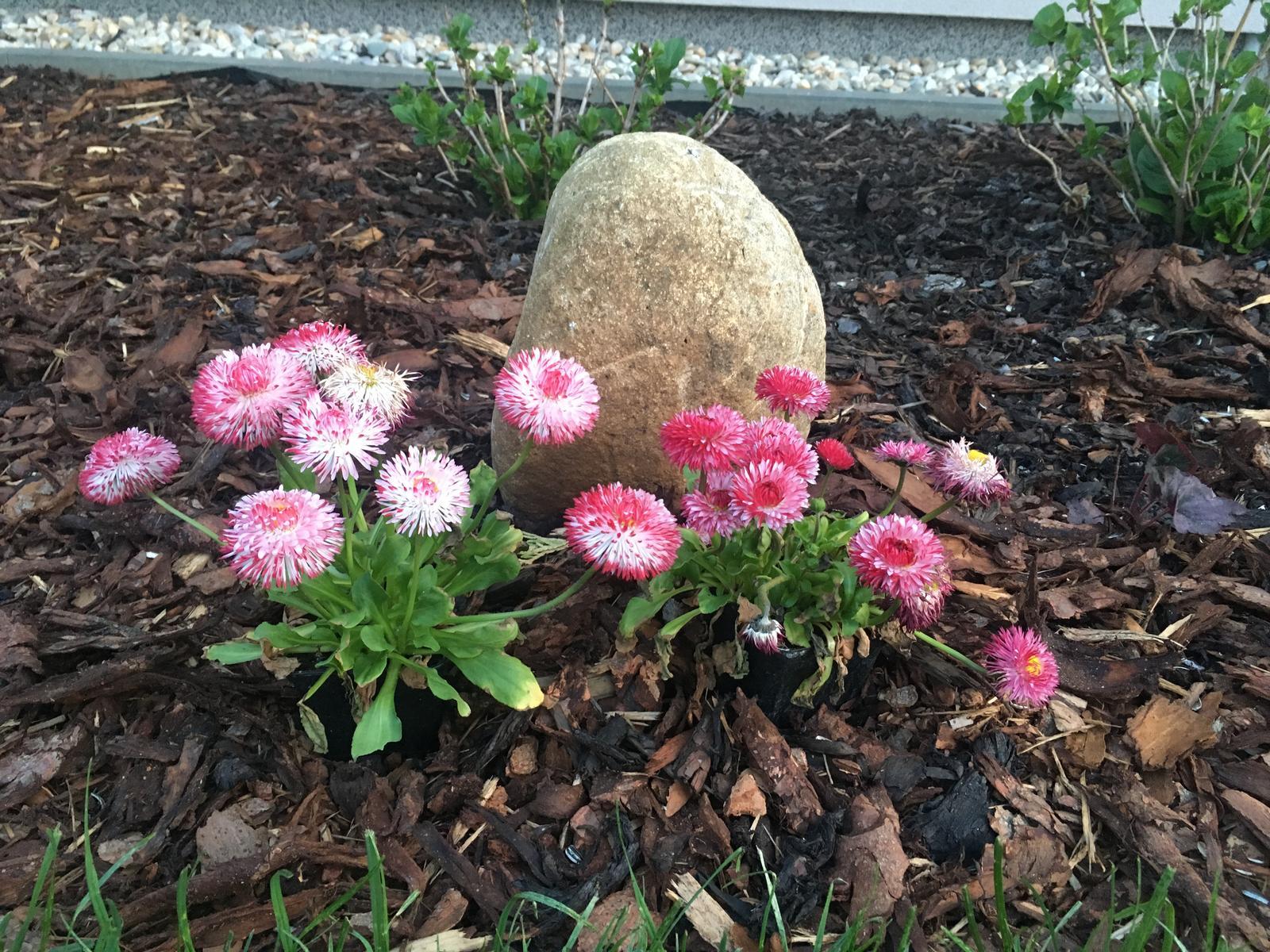 Naše zahradka s láskou ❤️ - Sedmikrásky