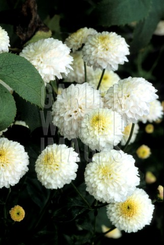 Chryzantemy ako svadobna kytica - tieto brmbolcove chryzantemy su moje najnajnajoblubenejsie kvetinky!!!