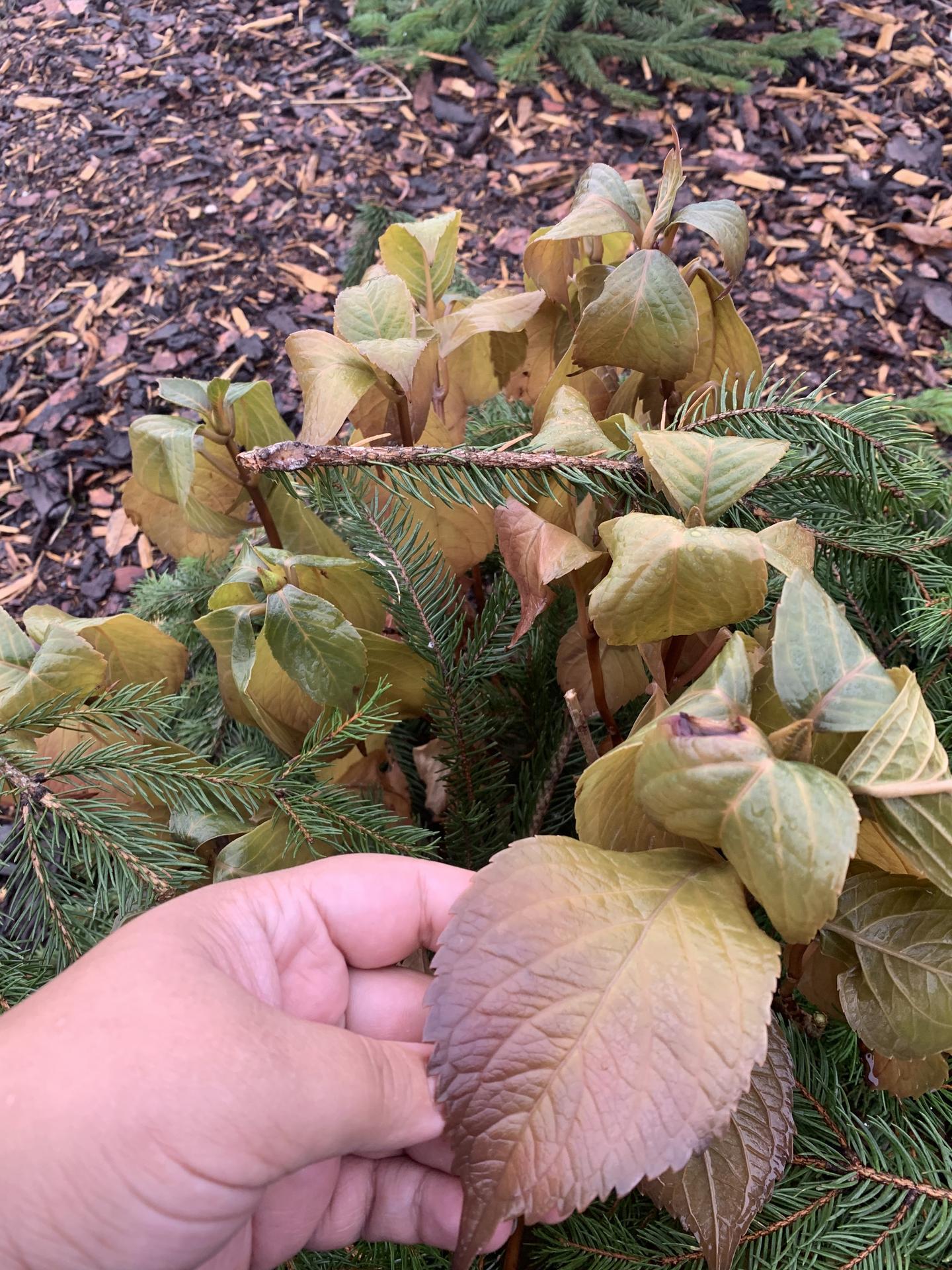 Zasadili jsme na zahradě hortenzii forever ted, která by mela byt mrazuvzodrna do cca -20 stupňů. Takhle vypada po prvním mraziku. Listy jsou jakoby gelove. Je to omrzle? Odpadají listy na zimu a na jaře raší nové nebo je to cele na vyhození. Pani v zahradnictví mi rikala, ze ji nemusíme ani zazimovavat :( mate nekdo zkušenosti? - Obrázek č. 1