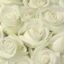 jako svatební kytice to asi vyhrajou bílé růže