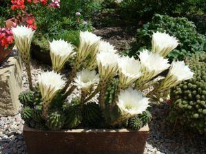rozkvitnuté kaktusy