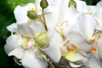 nasa svadba - v znameni orchidei