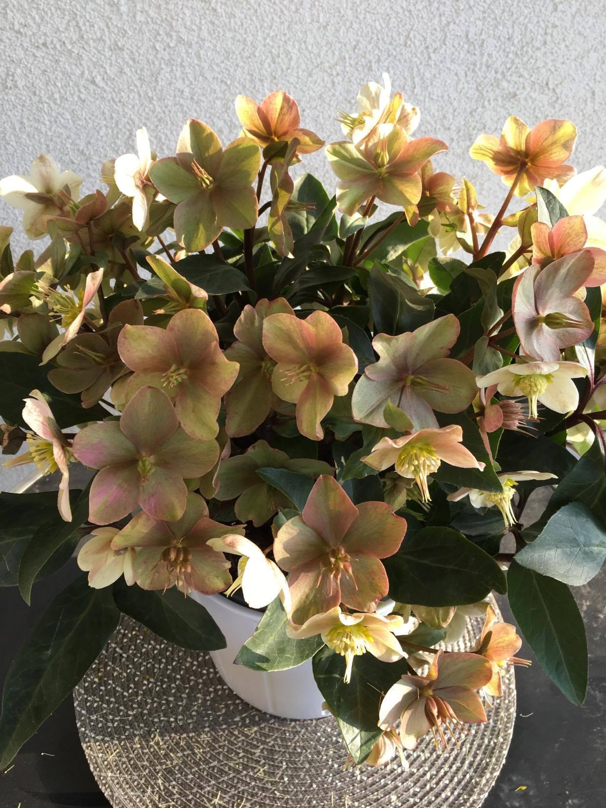 Rok 2020 v záhrade - ... a to ešte kvitnú zimné krásky - čemerice ... táto je v črepníku na terase :-)