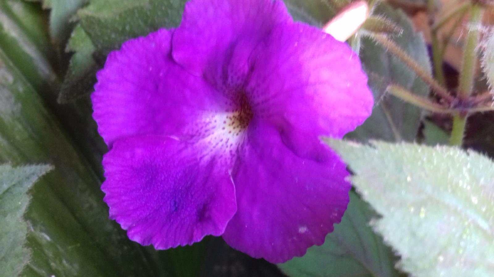 Achimenes rastliny - Obrázok č. 1