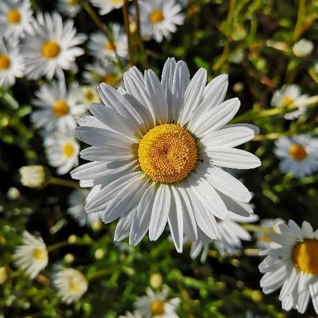 Margaréta lúčna biela - Obrázok č. 1