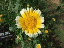 Chryzantémovka - Obrázok č. 1