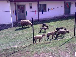 2013 nase tohtorocne jahniatka,7ks.od 4 oviec