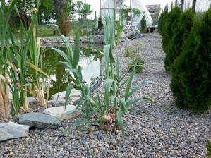 rastie bambus c.1