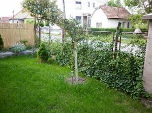 brectan pred domom rastie cca 3rok,uz konecne zakryje stary plot