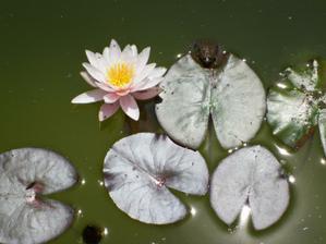 Jun 2011...lekno c.1 sadene tuto jar uz kvitne :-)