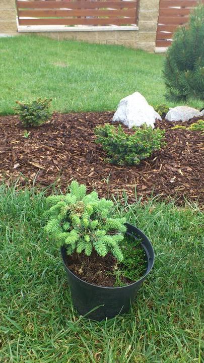 Zahrada - Nové úlovky -skalková jedle