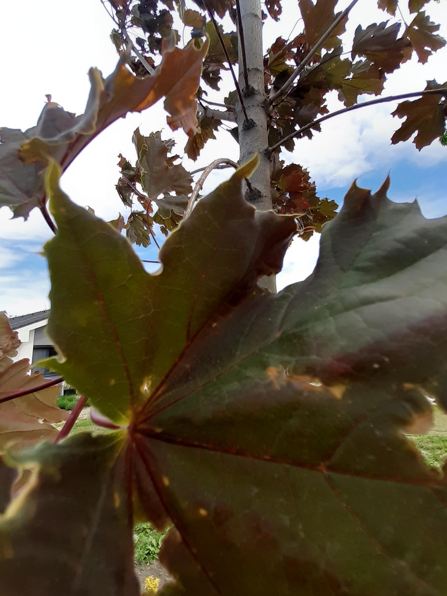 Chcela by som Vas poprosit o radu, nazor. Mame posadeny javor asi 2 mesiace, ked sme ho kupili mal bordove listy a teraz su na nom taketo skrvny a stratil aj farbu. Posadeny je na slnecnej strane, je to velky strom cca 3 m. - Obrázok č. 1