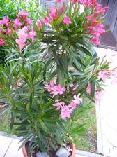 aj tento oleander krásne kvitne