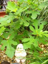 figovník stráži trpazlík