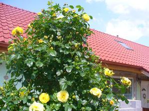 ruža bola nádherná tento rok, veľa kvetov a púčikov, a strašne pekne vonia